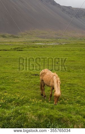 Image Of Beautiful Horse Eating  In Iceland.
