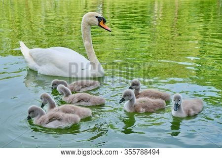 Mute Swan (cygnus Olor) Mother With Seven Cygnets Swim On A Pond - Close Up.