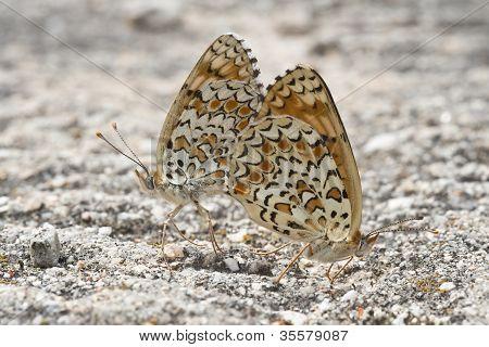 Butterflies Copulating.