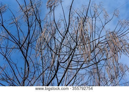 Catalpa Without Leaves In Early Spring.catalpa Without Leaves In Early Spring