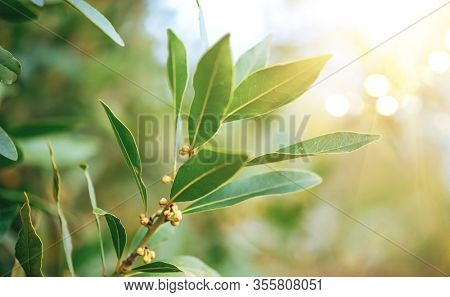 Laurel plant growing in a garden. Closeup of fresh organic laurel leaves, macro shot. Herbs and spices, condiments, seasoning. Aromatic spice for cooking