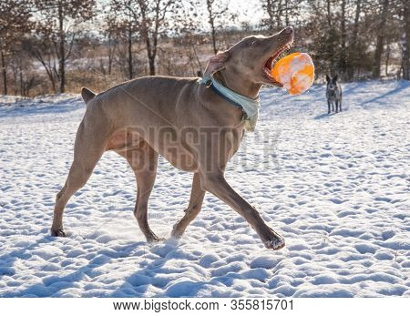 Weimaraner dog tossing a ball into air while he's running, in a snowy winter scene backlit by sun