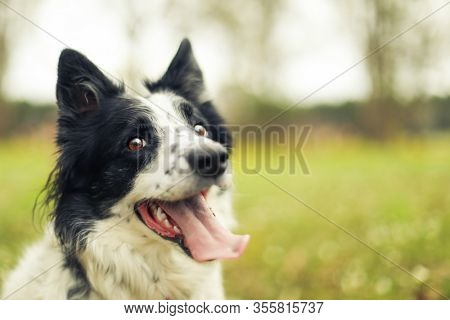 Black and white border collie dog panting and looking at the camera