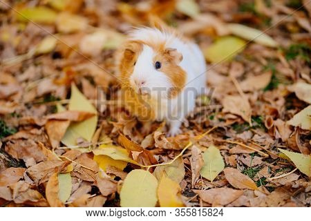White Yellow The Guinea Pig On Yellow Dry Autumn Leaves. Pet On The Street.