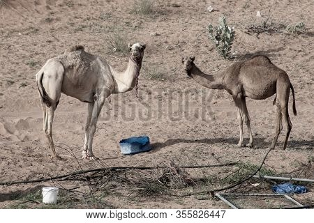A Group Of Dromedary Camels (camelus Dromedarius) Looking While Eating Hay In A Camel Farm In The Un