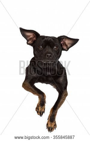 Adorable Black Chihuahua Isolated On White Background