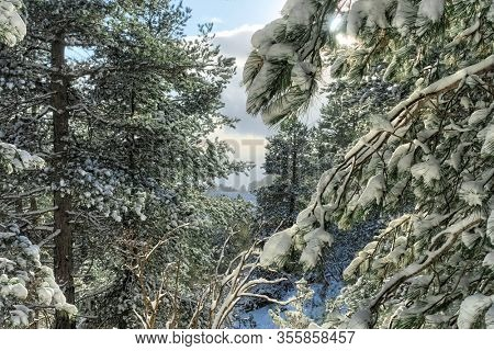 snow covered branches in a pine forest of Etna Park, Sicily