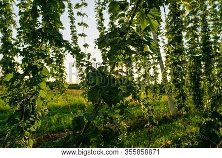 Green Hops Field. Fully Grown Hop Bines. Hops Field In Bavaria Germany. Hops Are Main Ingredients In