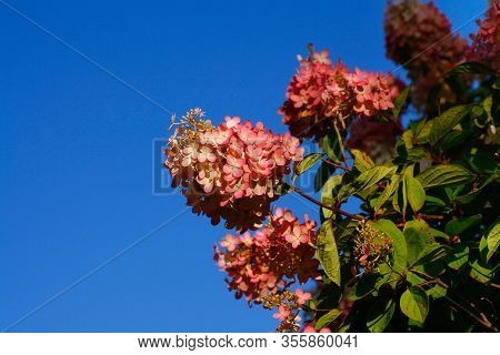 Pink Flowers Of Hortensia Against The Clear Blue Sky. Image Contains Space For Your Text.