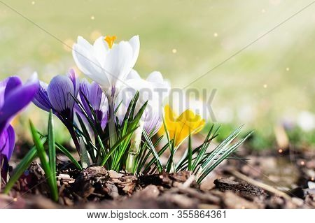 Multi Colored Spring Crocuses In The Early Morning Outdoor. Spring Flowers In Grass With Light Bokeh