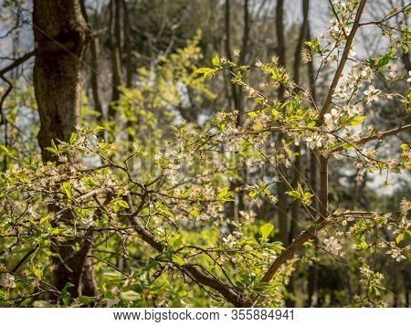 Tree With Small White Flowers Illuminated By The Light Of Midday Sun, In The Park Of The Quinta De L
