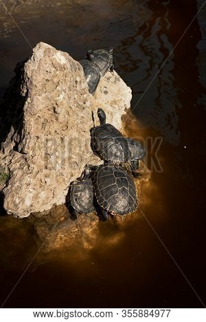 Turtles Climbing The Rocks In The Pond Of The Quinta De Los Molinos In Madrid, Spain. Concept Of Ani