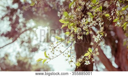 White Flowers From A Tree Photographed In Backlighting With Light Tones. Spring Concept.