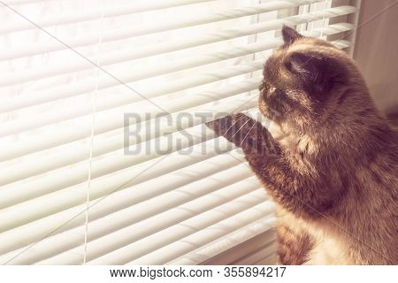 Cat Looking Outside Through Window Blinds. Cat In The Sun Rays