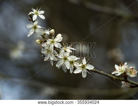 Closeup Of Pretty White Blossom On A Blackthorn Tree Branch, Prunus Spinosa