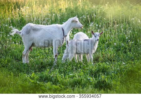 Herd Of Goats. Family Of Goats. Goats Is Grazed On A Green Meadow .