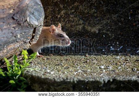 Curious Wild Brown Norway Rat, Rattus Norvegicus, Head