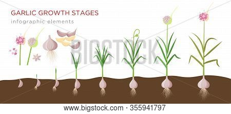 Garlic Plant Growign Stages From Deeds, Garlic Sets To Ripe Garlic - Set Of Botanical Detailed Infog