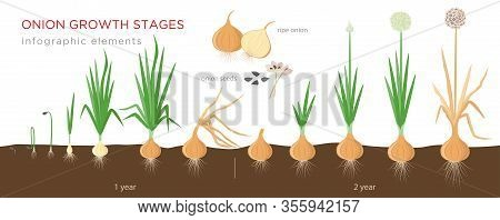 Onion Plant Growing Stages From Seeds To Ripe Onion - Two Year Cycle Development Of Onion - Set Of B