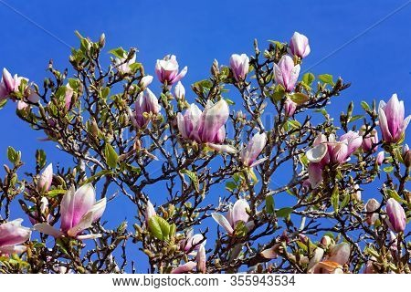 Pink Magnolias Blooming On A Tree With Blue Sky Background In Monterey, California, Usa