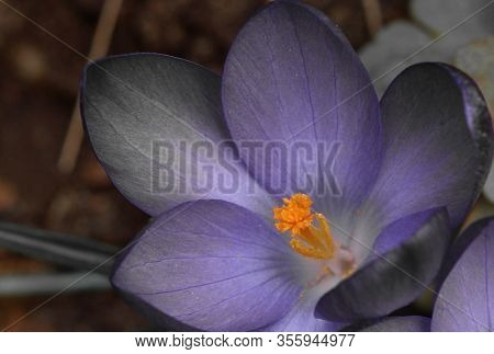 Beautiful Detail Of Flower With Pistils And Stigma