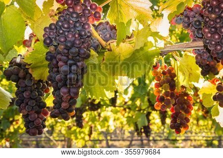 Bunches Of Backlit Pinot Noir Grapes Growing In Organic Vineyard At Harvest Time