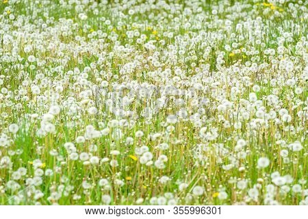 A field of dandelions gone to seed.