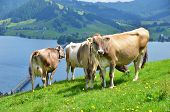 Swiss cows on Alpine meadow poster