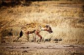 spotted hyena walk in luangwa national park zambia poster