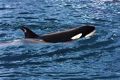 A swimming Killer Whale (Orca Orcinus) poster