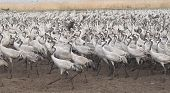 Migrating grey cranes over Hula lake reserve Israel at spring on the way back to Europe poster