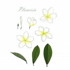 Plumeria White Flower, Green Leaves Set. Art Design Element Object Isolated Hand Drawing Stock Vecto