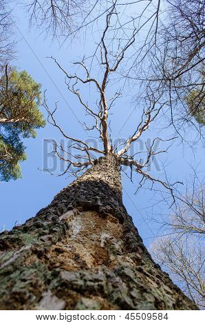 Dead Oak Tree Trunk Branches Forest Park Blue Sky