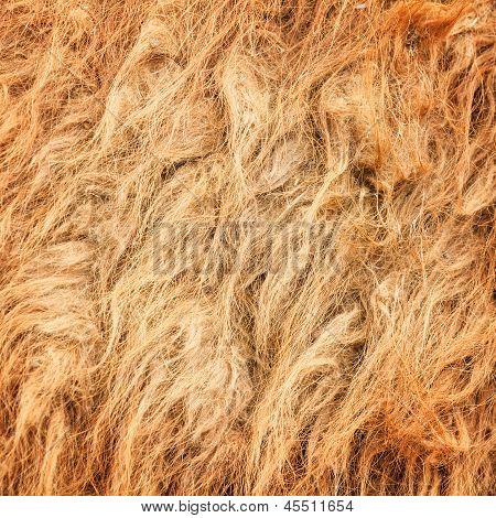 Kamel wolle