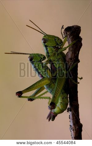 Close Up Of Two Grasshopper Orthopterous Having Sex O