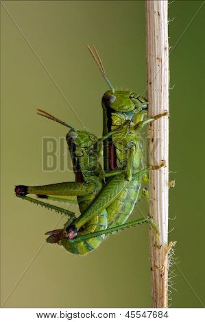 Orthopterous Mating