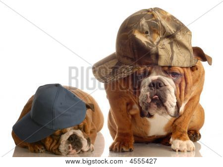 Two Bulldog Wearing Ballcaps