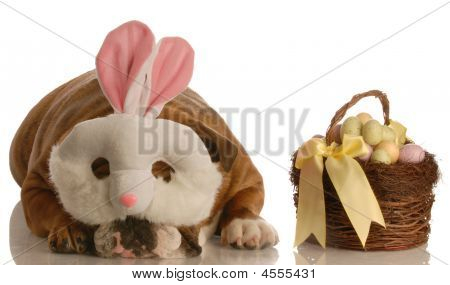 english bulldog dressed up as easter bunny with basket isolated on white background poster