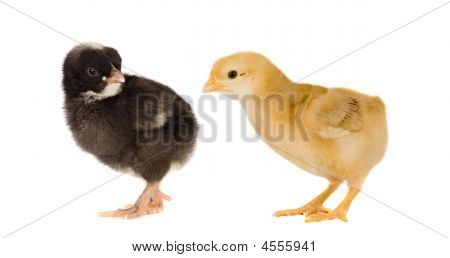 Two little chickens of different colors on a over white background poster