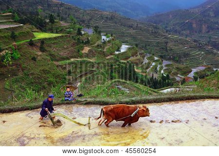 Rice Terraces. Chinese Farmer Tills The Soil On The Paddy Field.