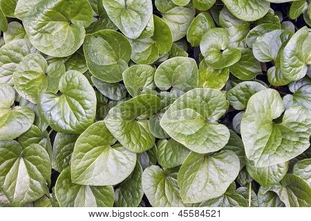 Western Wild Ginger Groundcover