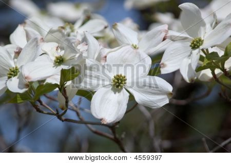 Spring Dogwood Blossoms