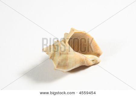 Rapa Shell