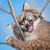 Bobcat (Lynx rufus) Chews on Branch - captive animal poster