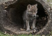 Young gray wolf, or timber wolf pup emerging from a hollowed out log.  Springtime in Wisconsin poster