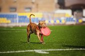 funny Pit Bull Terrier dog brings the flying disc in jump poster