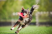 funny border collie dog brings the flying disc in jump poster