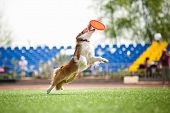 border collie dog catching the flying disc in jump poster