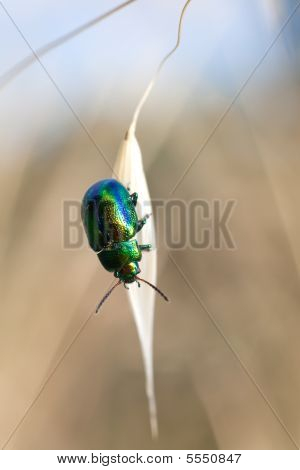 metallic chrysomela herbacea beetle on oat cereal grain poster