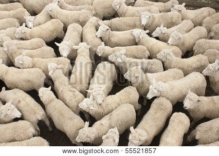 A pen full of sheep at the Feilding stockyards in New Zealand. poster